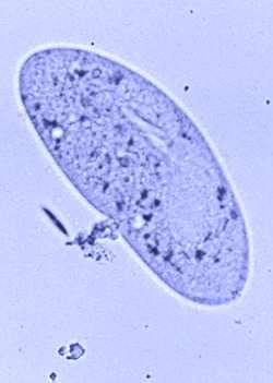 paramecium cell - photo #20