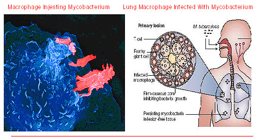 Sahsrojas Mycobacterium Tuberculosis By N And F